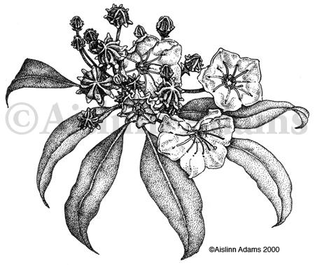 Botanical Illustration of Kalmia latifolia, Mountain ...